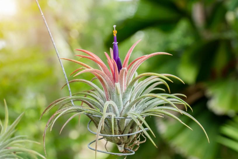 Oplątwa to niewymagająca roślina o egzotycznym wyglądzie