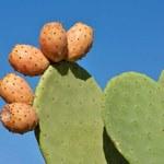 Opuncja figowa dla zdrowie i szczupłej sylwetki
