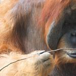 Orangutan potrafi to lepiej niż kilkuletnie dziecko