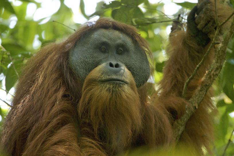 Orangutan Tapanuli /Fot. Tim Laman /Wikipedia