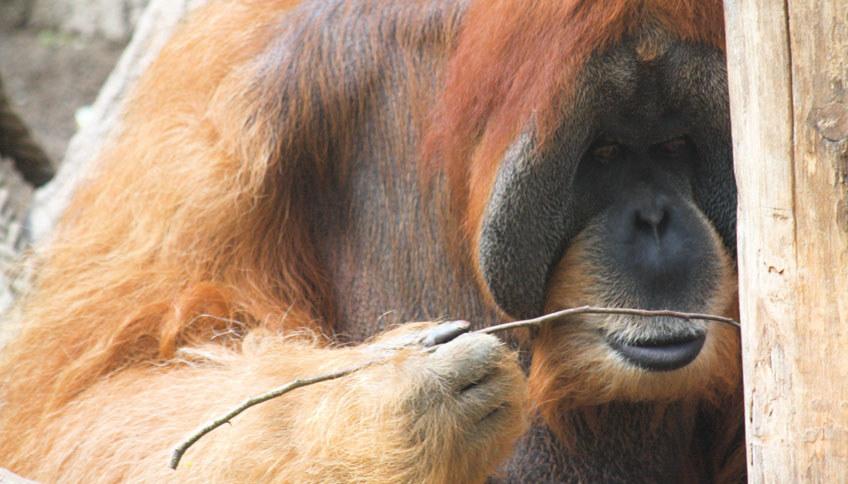 Orangutan wykorzystujący proste narzędzie /© ALICE AUERSPERG /Materiały prasowe