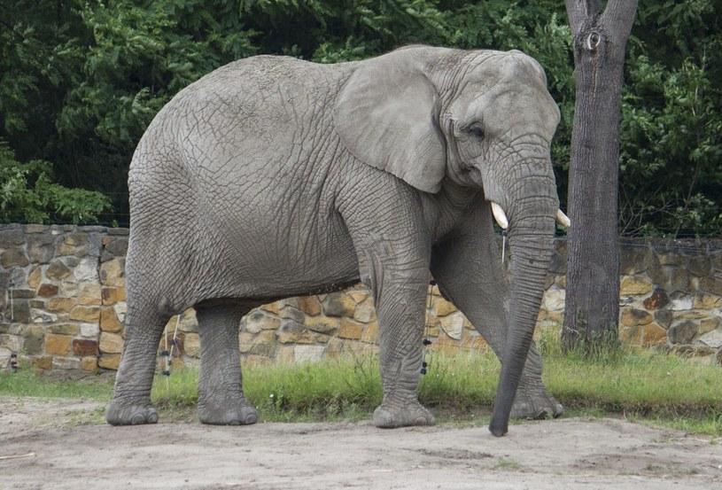 Oregon badał lądowe zwierzęta ważące ponad sto kilogramów, mi.n. słonie /Krystian Dobuszyński /Reporter
