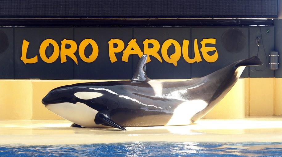 Orka Morgan żyje dziś w Loro Parque na Teneryfie /CRISTOBAL GARCIA /PAP/EPA