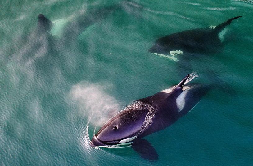 Orki czasem podpływają do łodzi z ciekawości. Nigdy wcześniej jednak ich nie atakowały /Yuri Smityuk/TASS /Getty Images