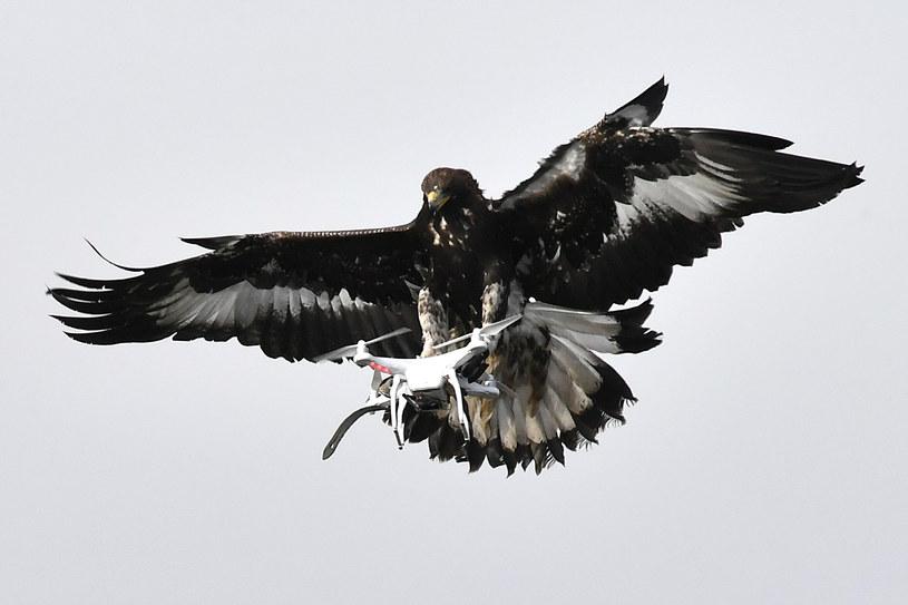 Orły sposobem na drony zamachowców? /GEORGES GOBET /AFP