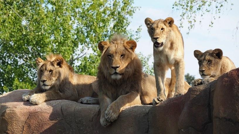 Osiem lwów w zoo zakażonych koronawirusem /Pixabay /