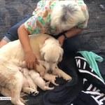 Osiem maleńkich labradorów przyszło na świat w porcie lotniczym