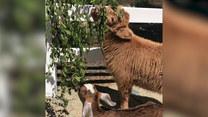 Osierocona koza i cielak zostali najlepszymi przyjaciółmi
