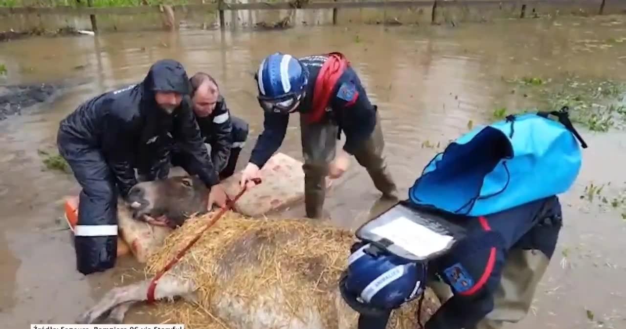 Osioł utknął na zalanym polu. Uratowali go strażacy