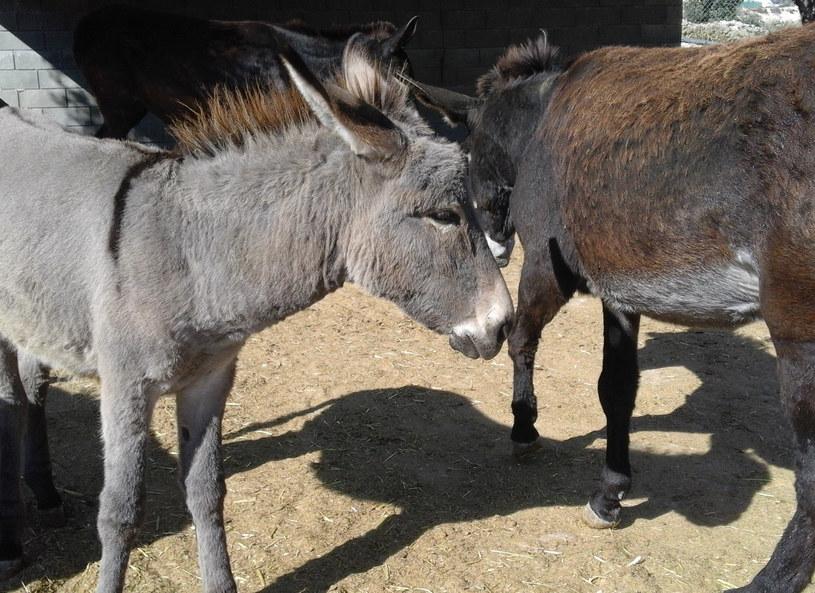 Osiołki z Golden Donkey Farm /G.Kurcz /INTERIA.PL