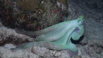 Ośmiornica czy kameleon? Podwodny świat zaskakuje
