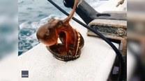 Ośmiornica wyłoniła się z muszli i… skacze na główkę do wody