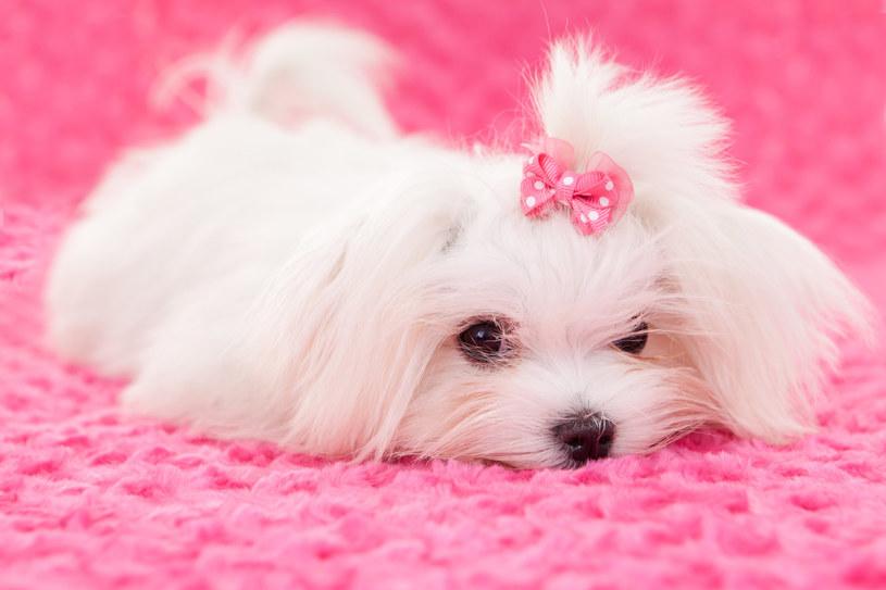 Osoby z umiarkowaną alergią tolerują w swoim otoczeniu psy z włosami /123RF/PICSEL