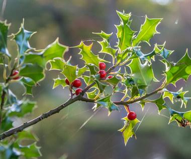 Ostrokrzew – najpiękniejszy do dekorowania na Boże Narodzenie