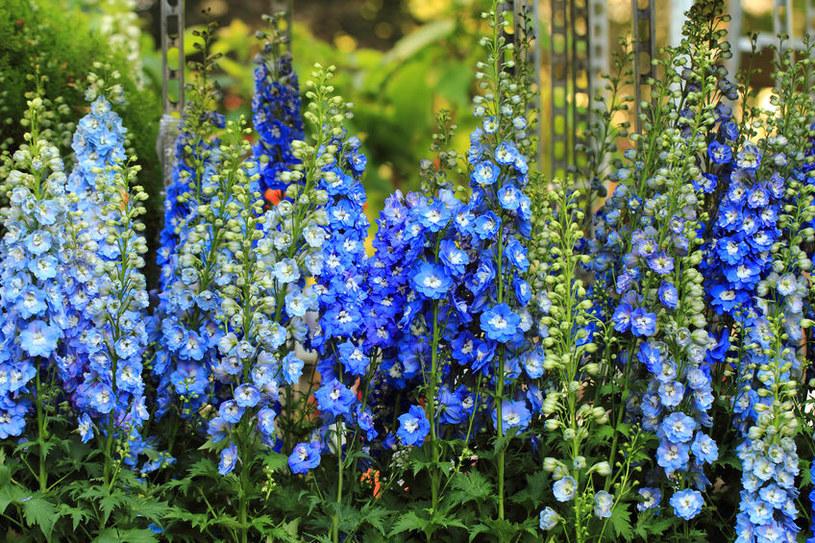 Ostróżka ogrodowa /©123RF/PICSEL