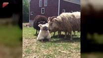 Oto pies, który został liderem stada owiec
