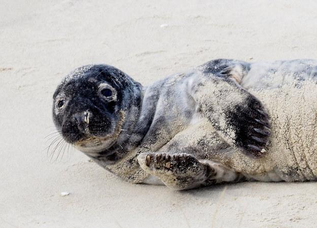 Oto Słupek - urocza foczka uratowana przez funkcjonariuszy Straży Granicznej /Fot. Jan Wilkanowski/Błękitny Patrol WWF /