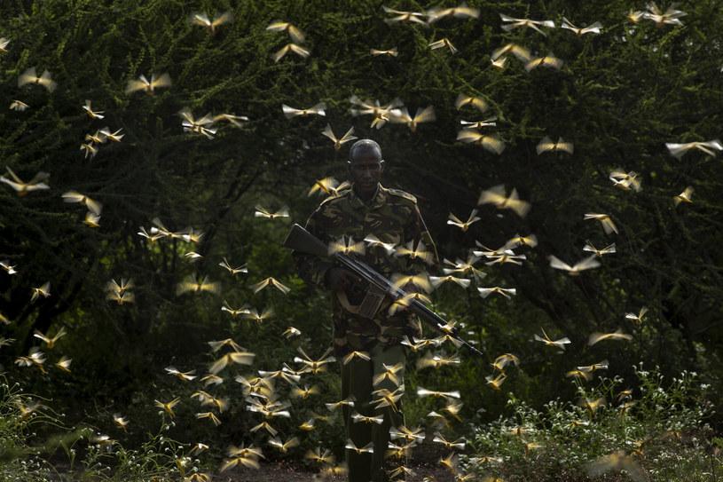 Otoczony przez rój szarańczy kenijski ranger nadaje koordynaty dla samolotu, który ma zrzucić na insekty pestycydy. /AP Photo/Ben Curtis /East News