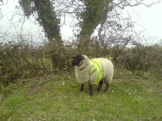 Owca przydrożna ;)