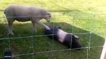 Owca zachęca do zabawy… świnię. Czy to się w ogóle uda?