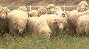 """Owce """"koszą"""" trawę na wałach przeciwpowodziowych"""