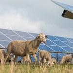 Owce, które pracują na farmie słonecznej. O co chodzi w agrowoltaice?