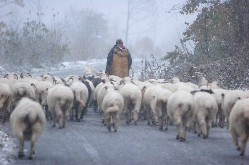 Owce zaczynają schodzić z tatrzańskich hal /Jan Kucharzyk /East News