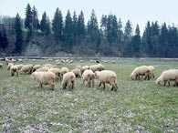 Owce /Encyklopedia Internautica