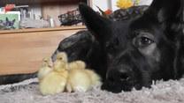 Owczarek niemiecki opiekuje się małymi kaczuszkami. Urocze