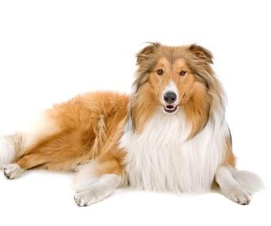 Owczarek szkocki długowłosy: Typowe cechy