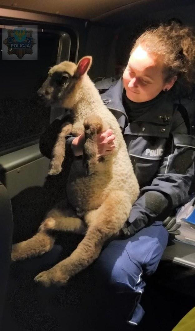 Owieczka w asyście policji wróciła do stada /Policja