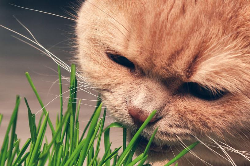 Owies jest zdrowy dla ludzi, ale także bezpieczny np. dla kotów /123RF/PICSEL