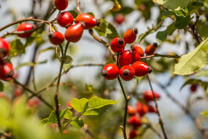 Owoc dzikiej róży wzmacnia siły obronne organizmu /123RF/PICSEL