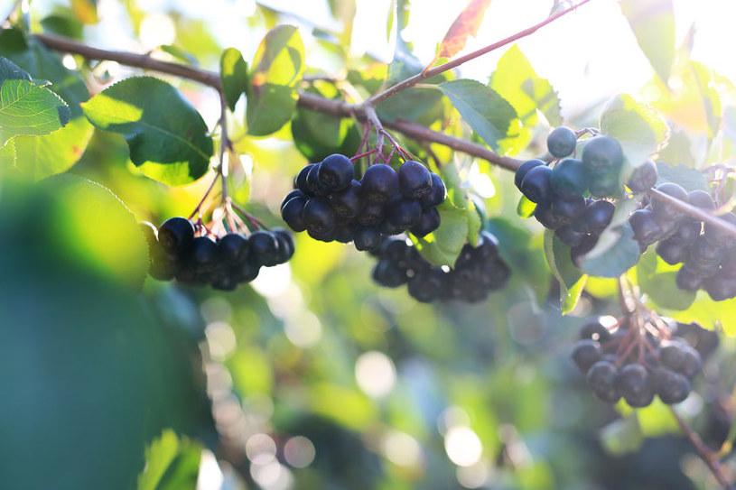 Owoce aronii /©123RF/PICSEL