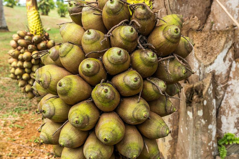 Owoce babassu /123RF/PICSEL