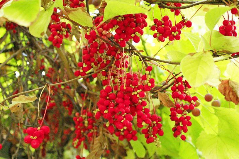 Owoce cytryńca chińskiego posiadają pięć smaków /123RF/PICSEL