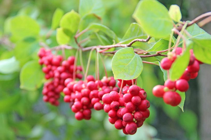 Owoce cytryńca pobudzają odporność i regenerują wątrobę /123RF/PICSEL