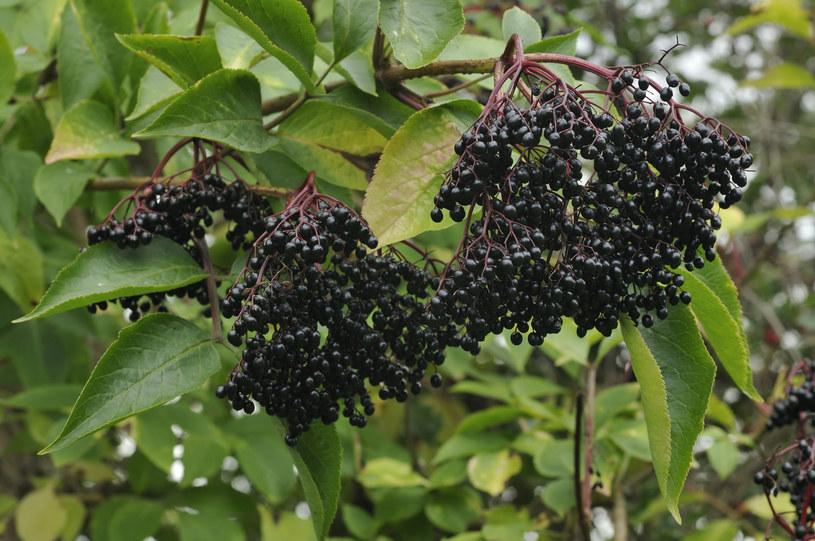Owoce czarnego bzu mają silne właściwości lecznicze /123RF/PICSEL
