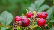 Owoce dzikiej róży – jakie mają właściwości?