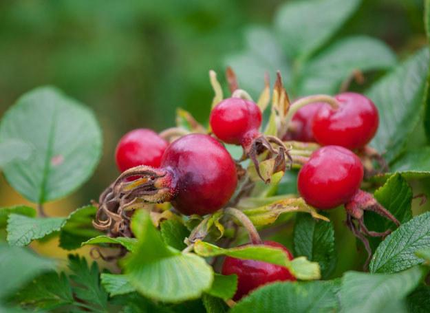 Owoce dzikiej róży są bogatym źródłem witaminy C /123RF/PICSEL