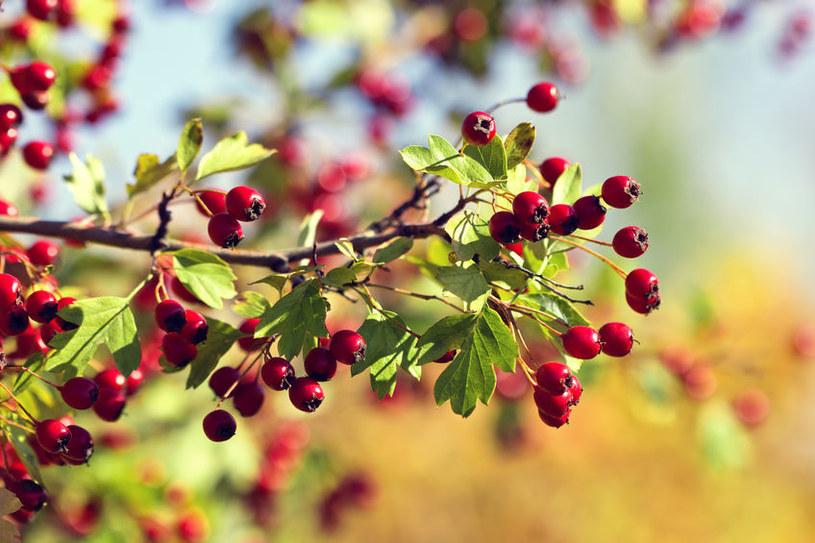 Owoce głogu /©123RF/PICSEL