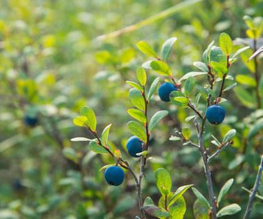Owoce: Jak rozróżnić te jadalne od silnie trujących?