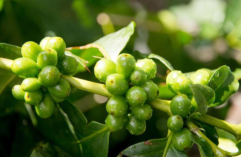 Owoce kawy /©123RF/PICSEL