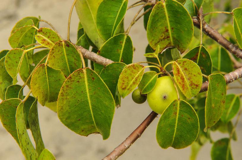 Owoce manchineel można pomylić z jabłkami /123RF/PICSEL