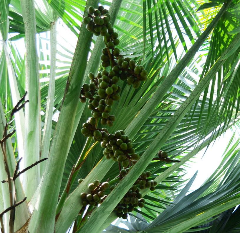 Owoce palmy sabałowej /©123RF/PICSEL