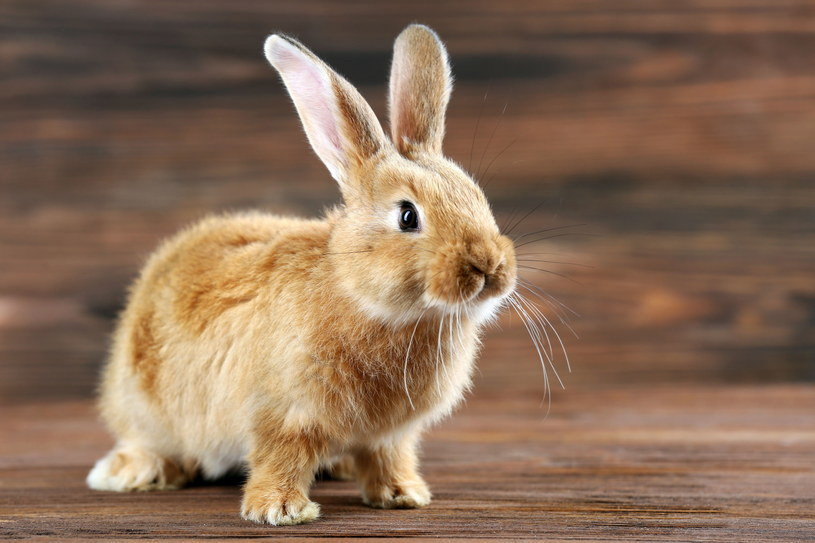 Oznaką dobrego humoru królika jest bieganie po klatce i fikołki /123RF/PICSEL