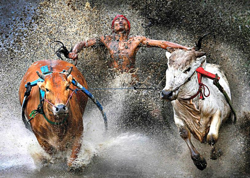 Pacu Jawi, czyli krowi wyścig to sport tylko dla najtwardszych /East News