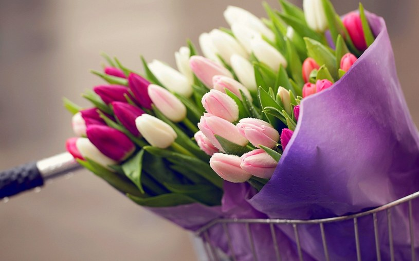 pączki tulipanów /© Photogenica
