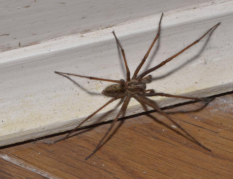 pająk w domu /© Photogenica
