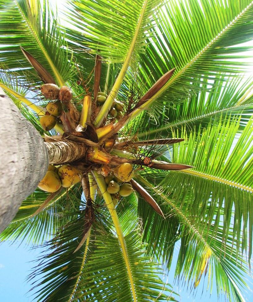 palma kokosowa /© Photogenica